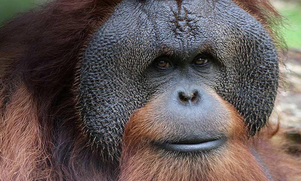 Foto van een grote aap