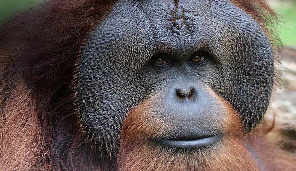 Foto van een Orang Oetan
